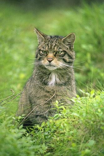 Scottish Wildcat by da_nige