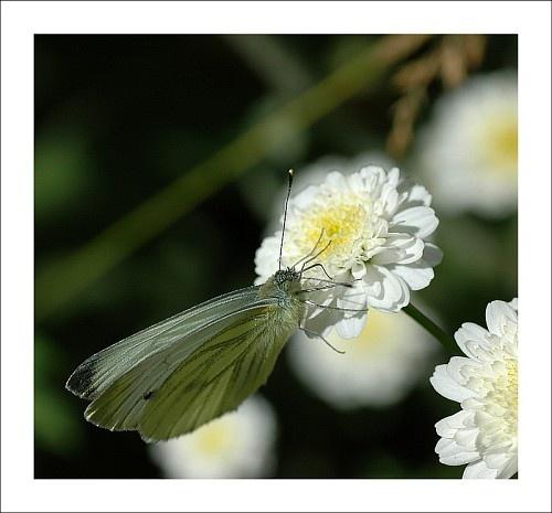 Butterfly by gapet