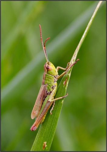 Grasshopper by tull