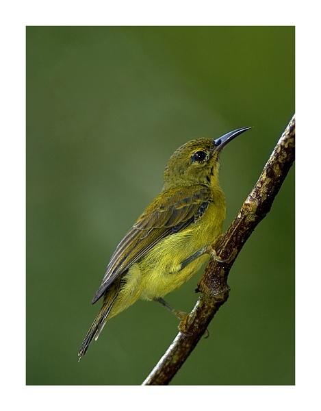 Sunbirds by suleesia