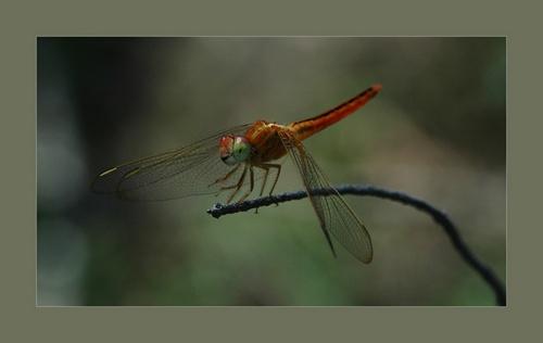 Dragonfly by Saderi