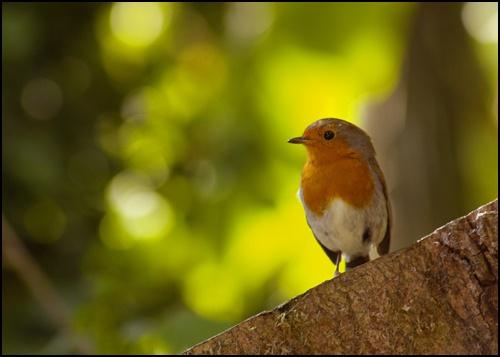 Robin by peterhorner