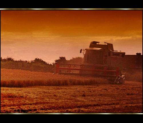 Harvest gold by sandyb
