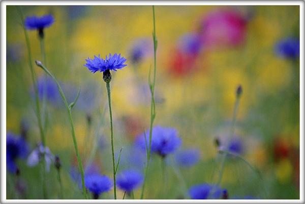 cornflower by scottingham