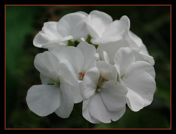 White Geranium by barry_uk
