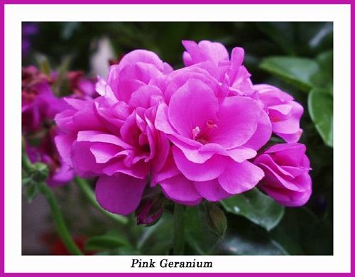 Pink Geranium by AnnieK