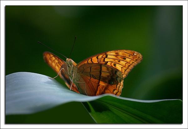 Butterfly by Keelo