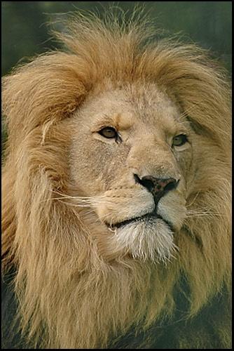 Lion by philjoel