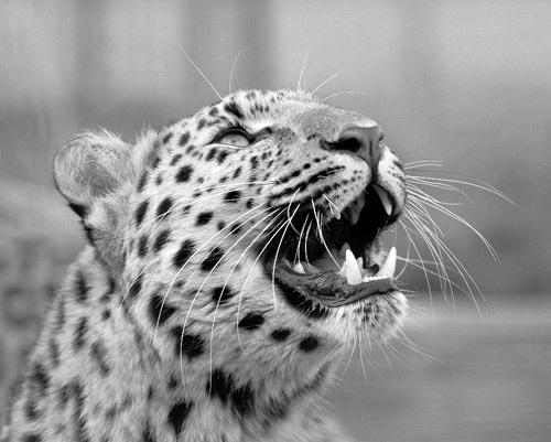 B&W Leopard by brian1208