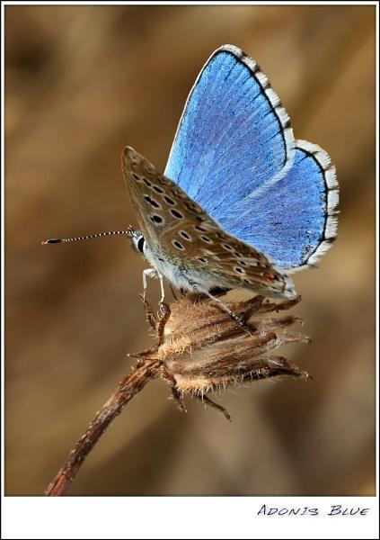 Adonis Blue by celestun