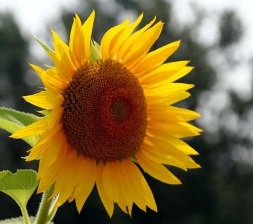 Sunflower by manicam