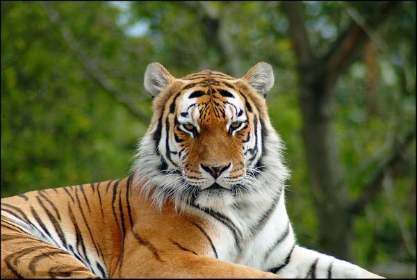 Tiger, tiger by debbiehardy