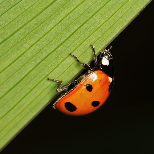 Ladybird by gemm