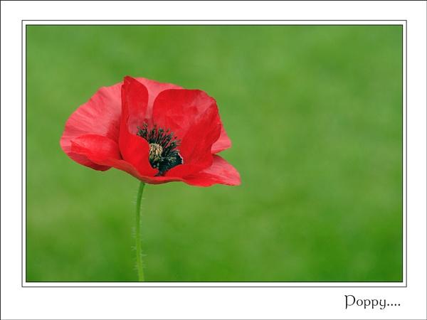 Poppy III.. by ejtumman