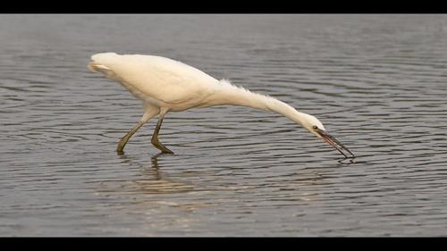Little Egret I by klewis