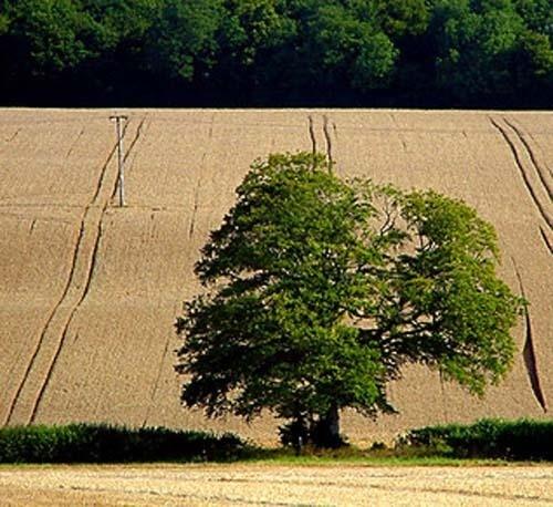 Ripening field 1 by AngelaR