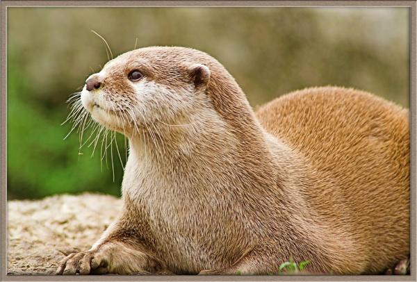 Otter 2 by Hoffy