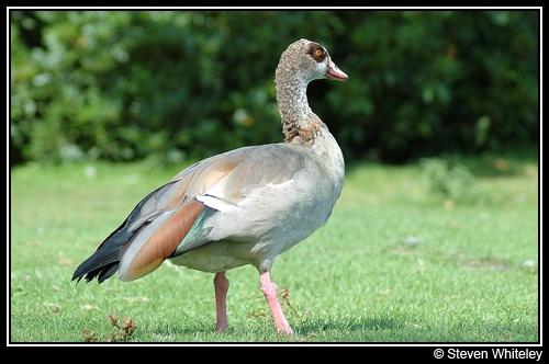 Big Bird! by Cacus