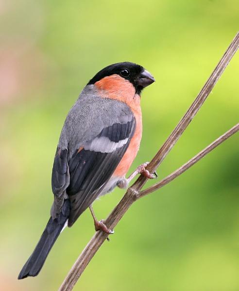 Bullfinch by John_Wannop