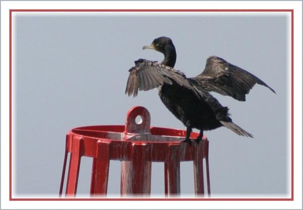 Cormorant Strechting It\'s Wings by barry_uk