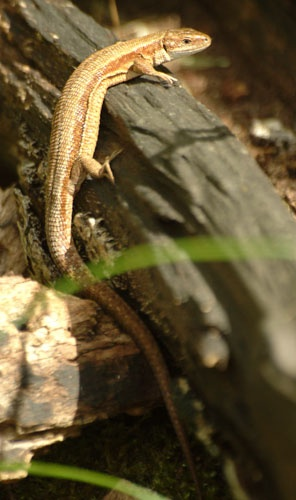Real wild British Lizard by bayesp