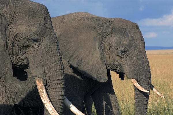 2 female elephants by philjoel