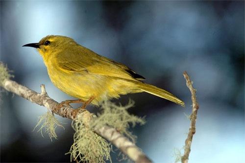Yellow Honeyeater. by minniemanx