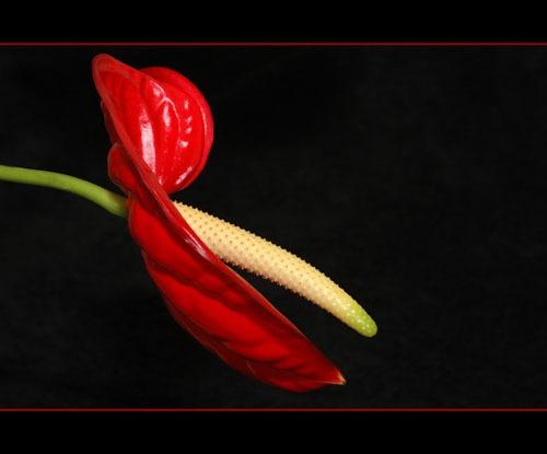 Anthurium by sferguk