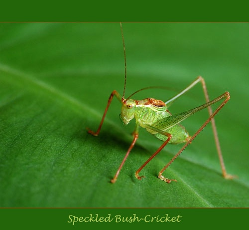 Speckled Bush-Cricket by sferguk