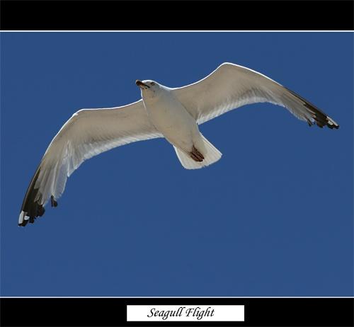 Seagull by Keith-Mckevitt