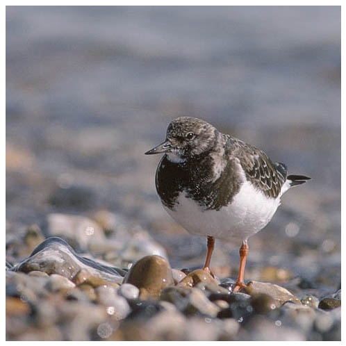 Turnstone by Leif