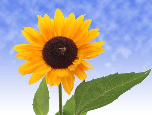 Everlasting Sunflower by GregorP