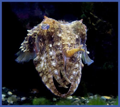 Cuttlefish by PeteG