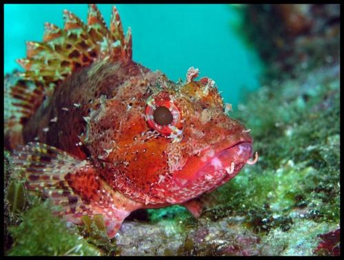 Scorpion Fish by PeteG