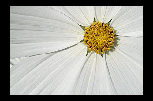 Daisy 1 by RSaraiva