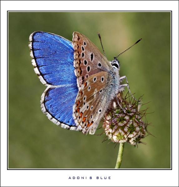 Adonis Blue II by celestun