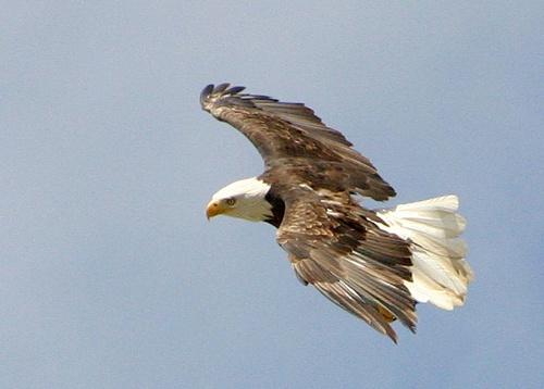 eagle flight by rf