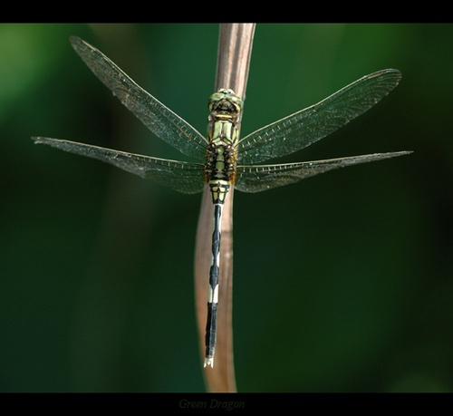 Green Dragonfly by Saderi