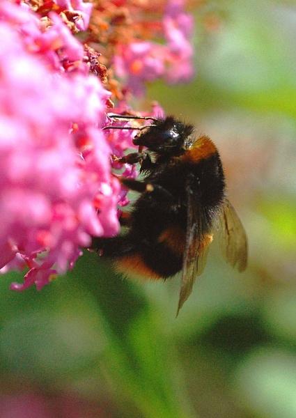 Bumble Bee on Buddlia by nikonphotographer