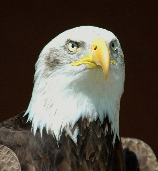 American Bald Eagle by nikonphotographer