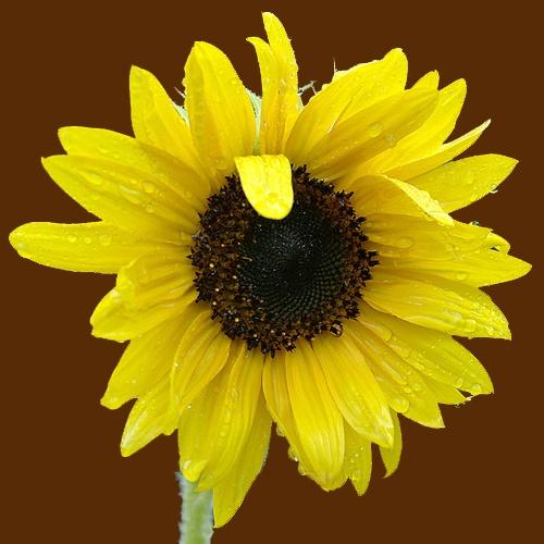 Rainflower by laingdonaldson