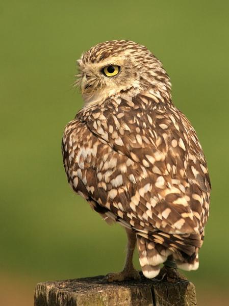 Burrowing Owl by John_Wannop