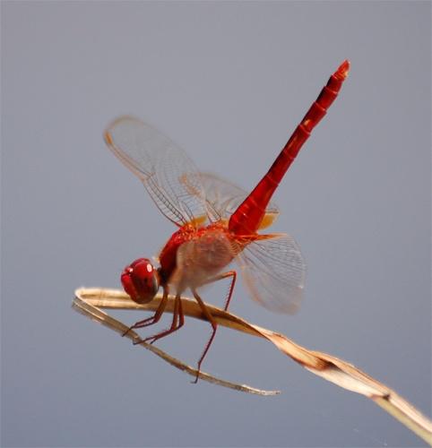 Dragonfly by Della_W
