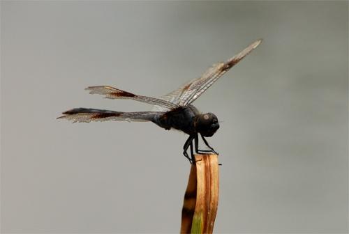 Dragonfly #2 by Della_W