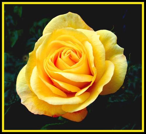 Rose by Pegon