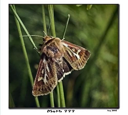 Antler Moth by Portknockie