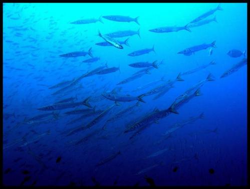 Barracuda by PeteG
