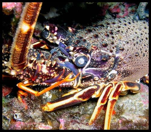 Lobster by PeteG