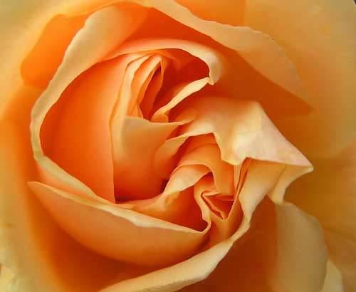 Rose(2) by franken