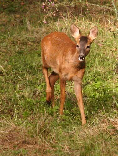 bambi by rf
